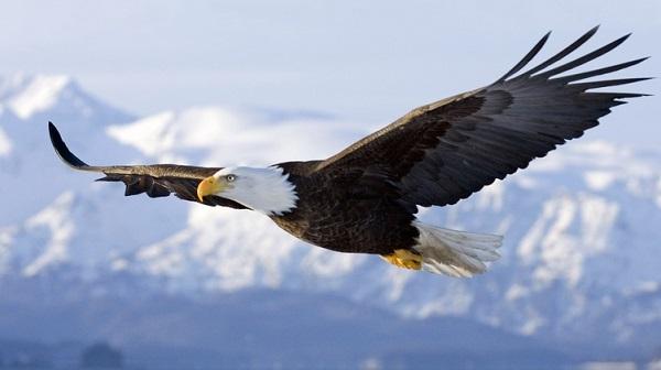 Летящий орёл